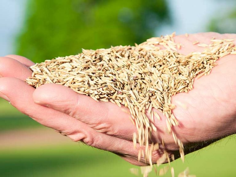 Where Does Grass Seed Come From?