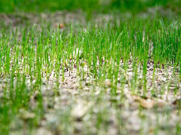 Will Grass Seed Grow If Not Covered?