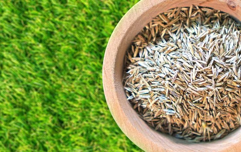 Best Grass for Overseeding