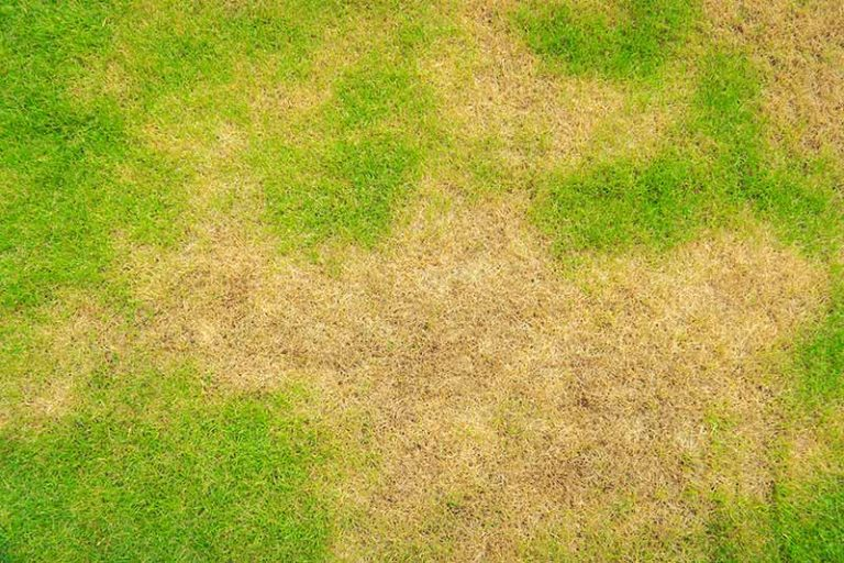 Brown Patch Fungus: How to Get Rid of Brown Patch Fungus Lawn Disease