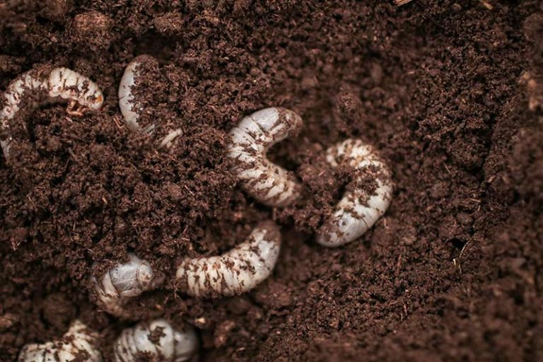 Grubs in Lawn: Signs of Lawn Grubs and How to Get Rid of Them